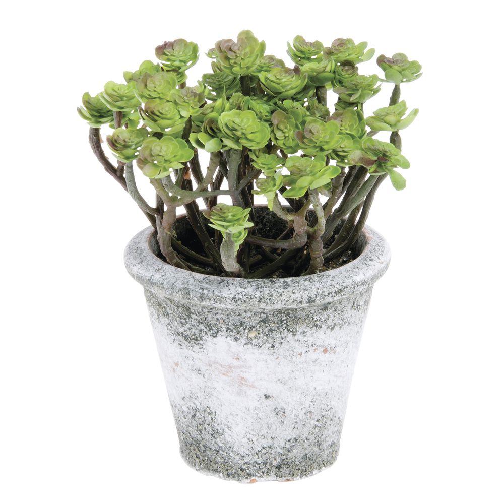 """SUCCULENT, SEDUM PLANT IN CLAY POT, 7.5"""""""